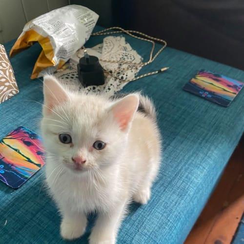 Lunnis - Ragdoll Cat