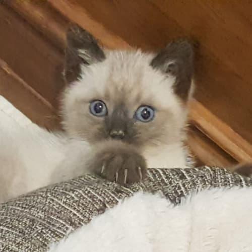 Mocha - Ragdoll Cat