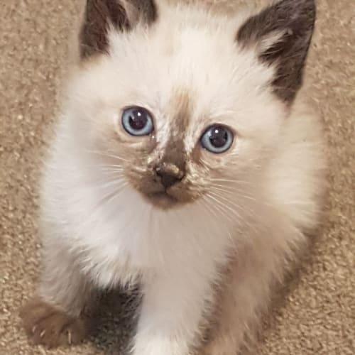 Napa - Ragdoll Cat