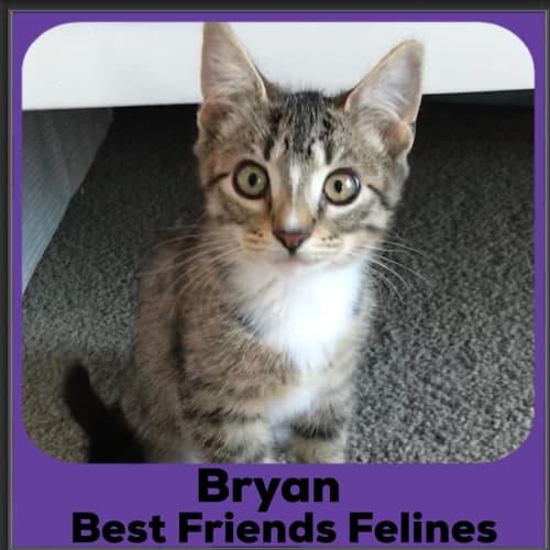 Bryan - Domestic Short Hair Cat