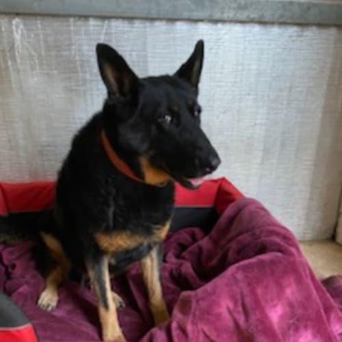 Diesel  - German Shepherd x Cross breed Dog