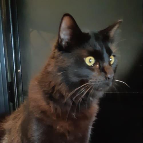 Percy - Domestic Long Hair Cat