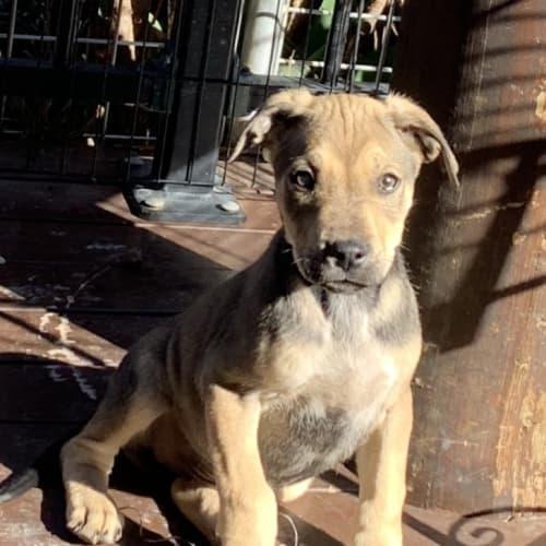 Blue - Mastiff Dog