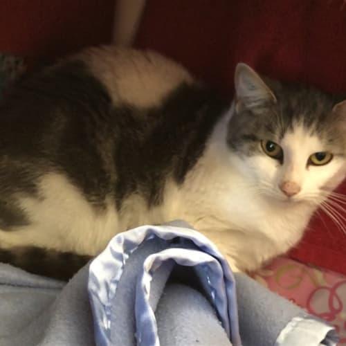Wattle - Domestic Short Hair Cat