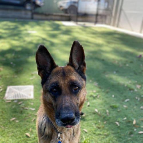 Nalah - German Shepherd Dog