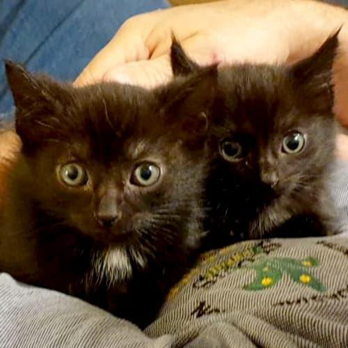 Dixie & Trixie - Domestic Short Hair Cat