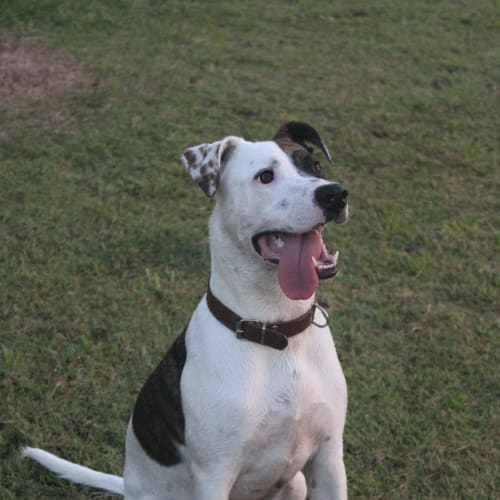 Daisy 🌻 - Bull Arab Dog
