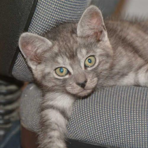 Simon - Domestic Medium Hair Cat