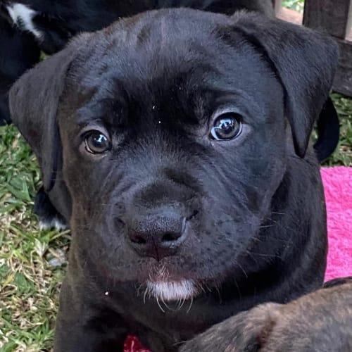 Vega - Staffy Dog