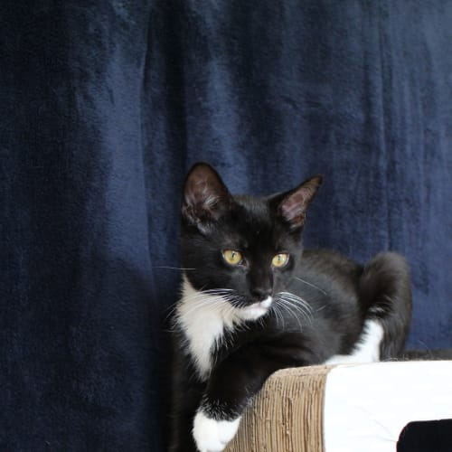 Diego ^^Dandy Cat Rescue^^ - Domestic Short Hair Cat