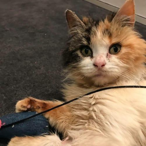 Chelsea (Located in Prahran) - Domestic Long Hair Cat