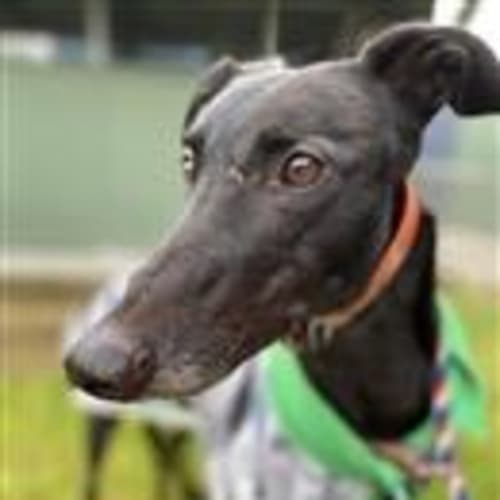 Donny   94642 - Greyhound Dog
