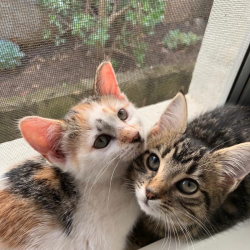 Freya & Legartha - Domestic Short Hair Cat