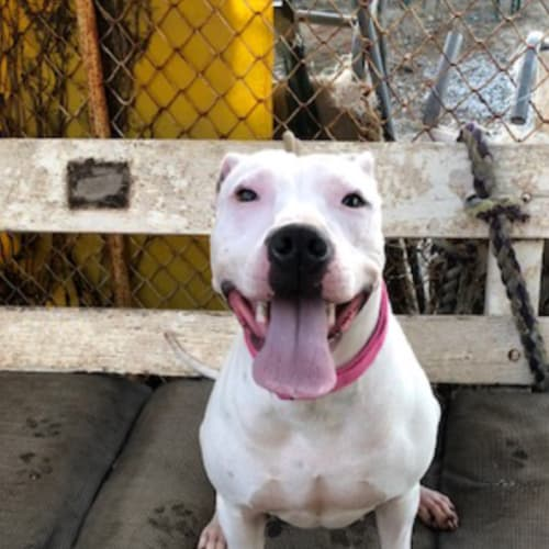 Sarah-Jane - Staffy x Cross breed Dog