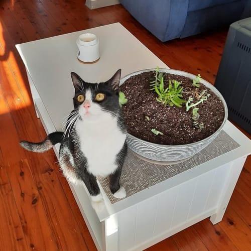 Hetti - Domestic Short Hair Cat