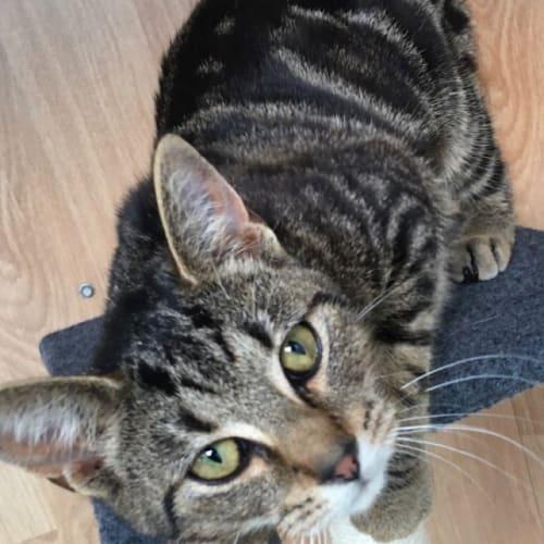 Lexie - Domestic Short Hair Cat