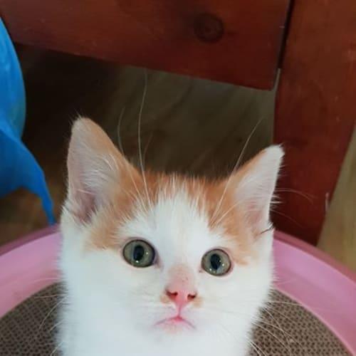 Hawke - Domestic Short Hair Cat