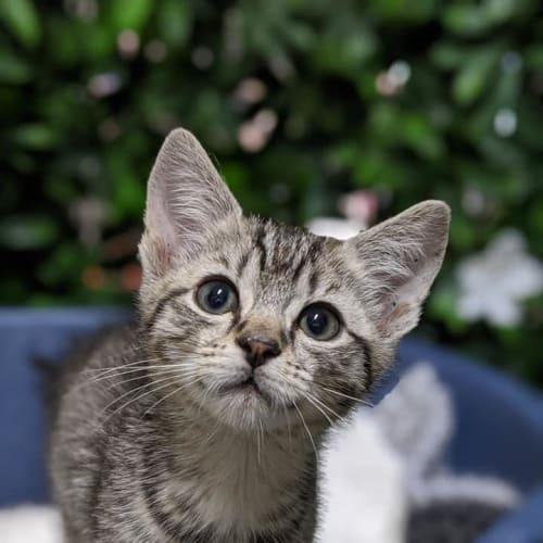Cricket - Domestic Short Hair Cat