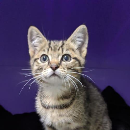 Elf - Domestic Short Hair Cat