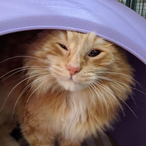 Carter - Domestic Medium Hair Cat
