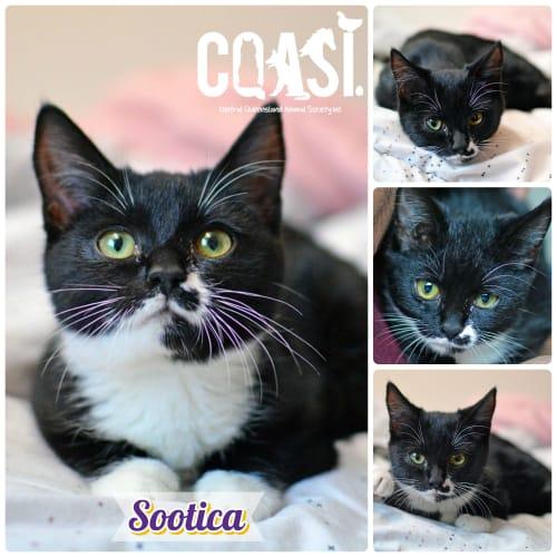 Sootica - Domestic Short Hair Cat
