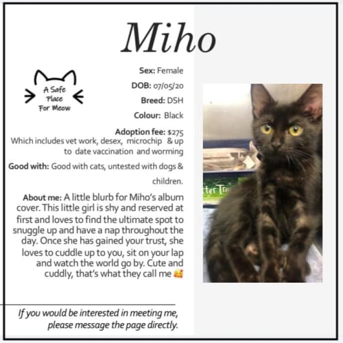 Miho - Domestic Short Hair Cat
