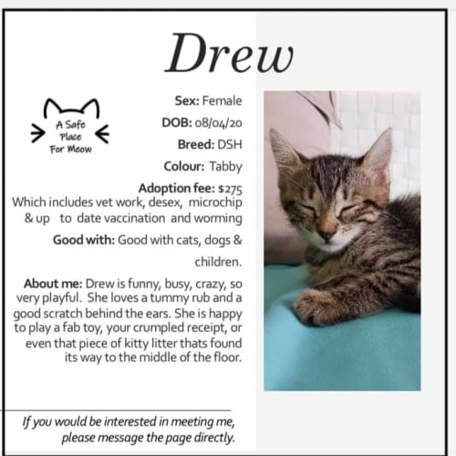 Drew - Domestic Short Hair Cat