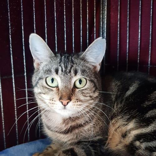 Megara - Domestic Short Hair Cat