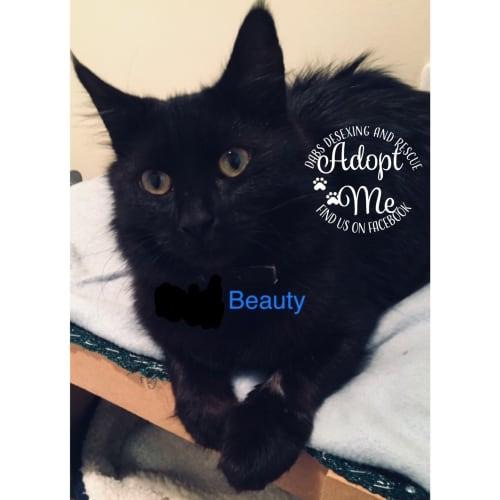Beauty - Domestic Long Hair Cat
