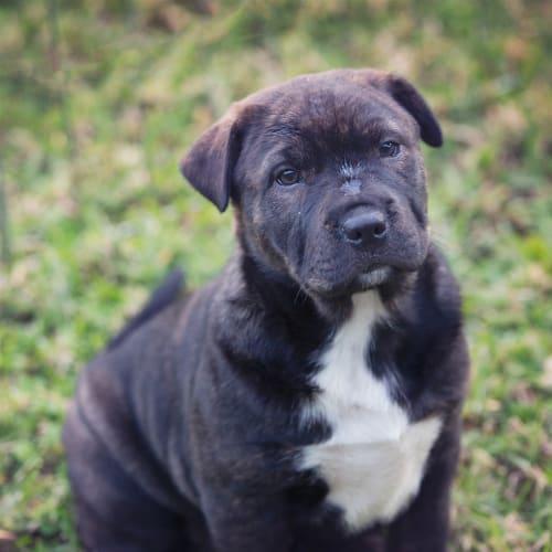Daisy - Staffordshire Terrier x Australian Terrier Dog