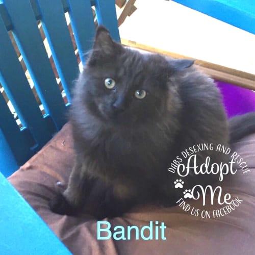 Bandit - Domestic Short Hair x Domestic Medium Hair Cat