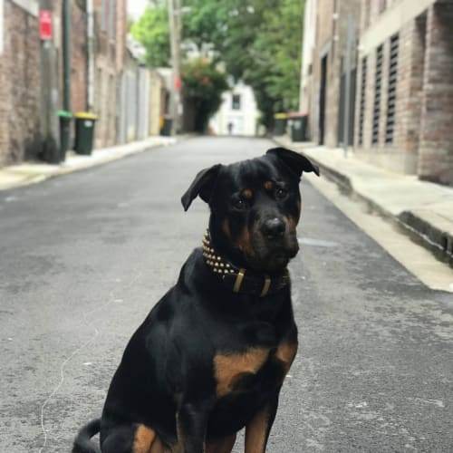 Teddy ** Pure Breed Rottweiler **