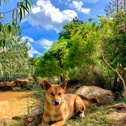 Adina - Dingo Dog