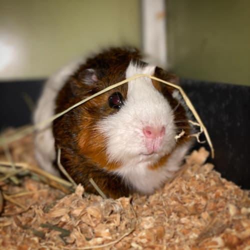 Will ~De-sexed~ - Abyssinian Guinea Pig