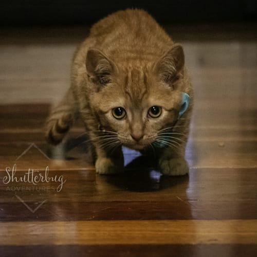 Pop & Fizzy ~ 10 week old kittens - Domestic Short Hair Cat