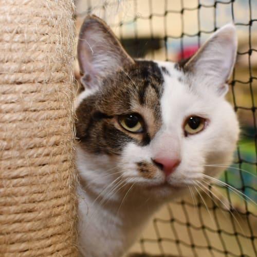 Bruce - Visit Me at PETstock Balcatta! - Domestic Short Hair Cat