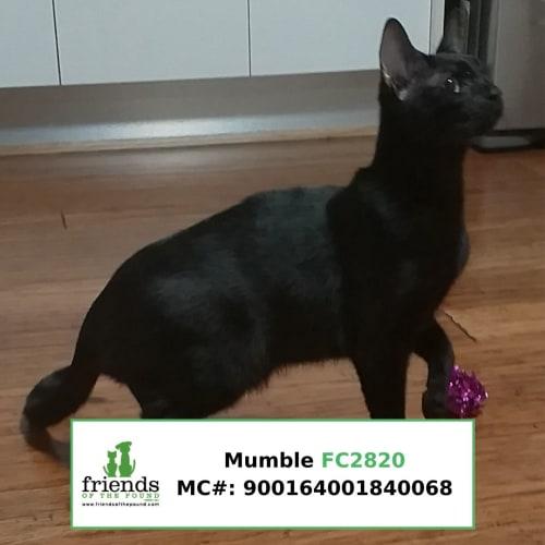 Mumble - Siamese Cat