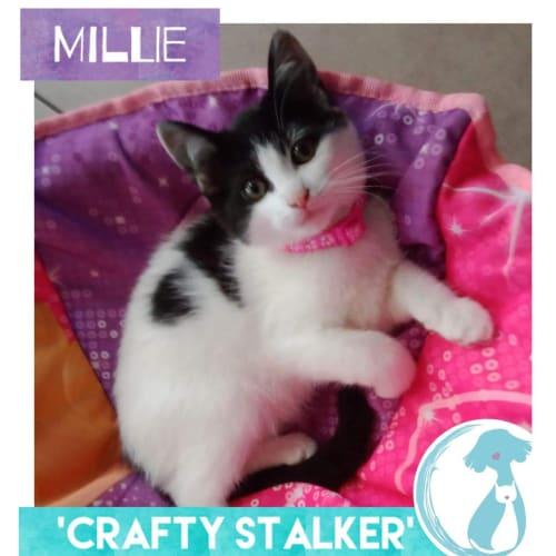 Millie - Domestic Medium Hair Cat