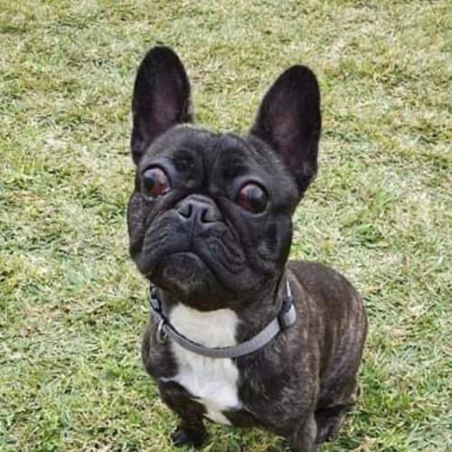 Flynn🥰 - French Bulldog