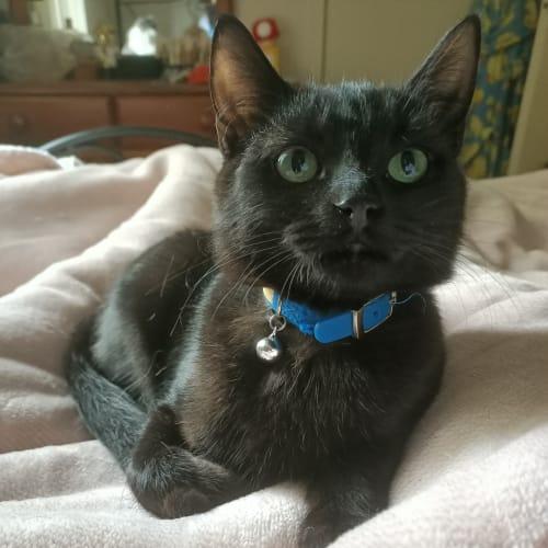 Zeph (Zephaniah) - No Longer Accepting Application - Domestic Medium Hair Cat