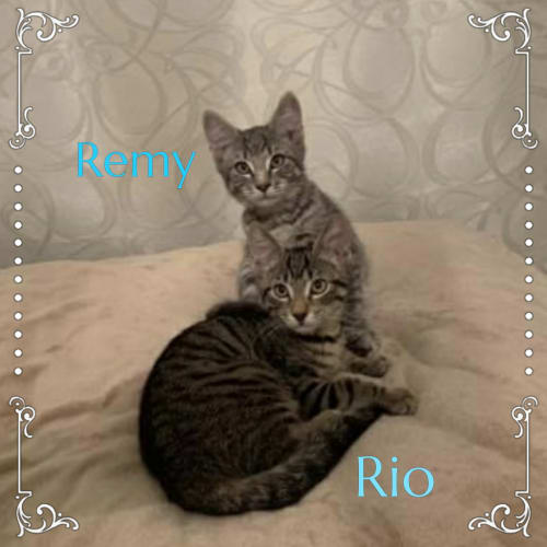 Rio & Remy - Domestic Short Hair Cat