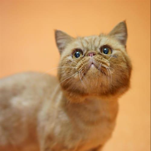 Mardonius - Persian Cat