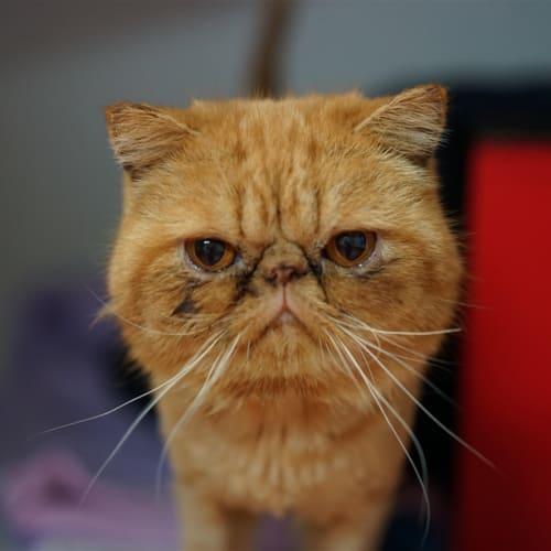 Xerxes - Persian Cat