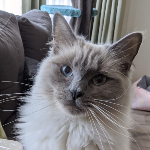 Gemma - Located in South Morang - Ragdoll Cat