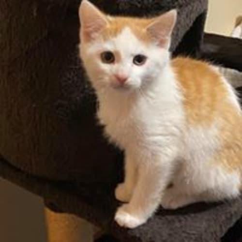 Dallas - Domestic Short Hair Cat