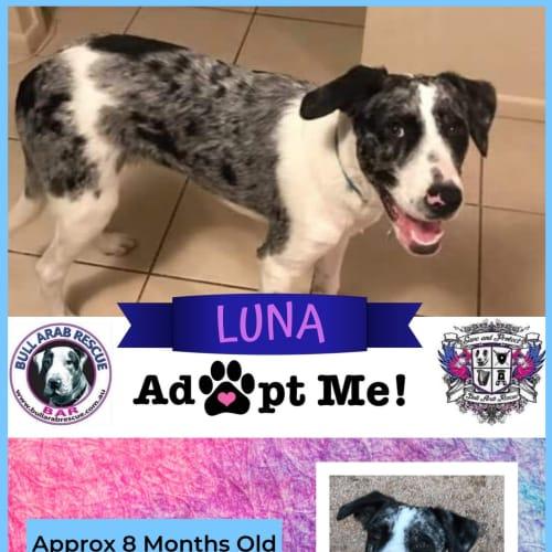 Luna - Bull Arab Dog