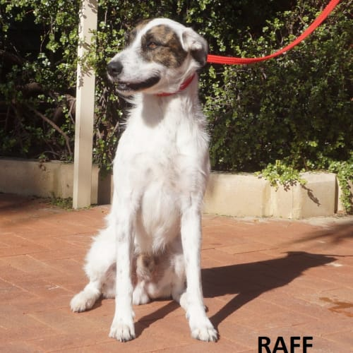 Raff - Staghound Dog