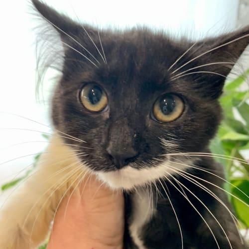 Jeweler - Domestic Medium Hair Cat