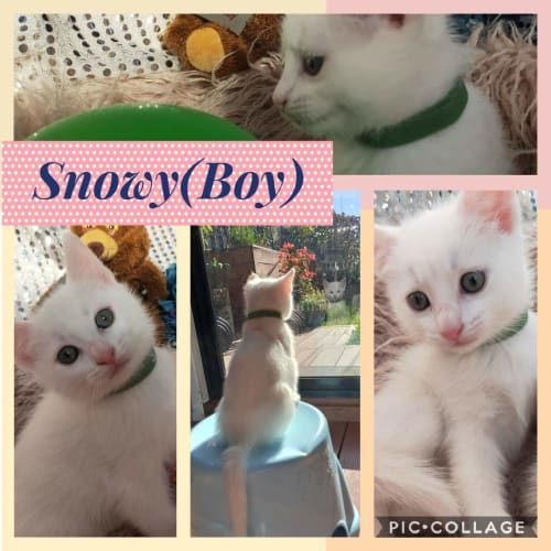 Snowy🦋🤍 - Domestic Medium Hair Cat