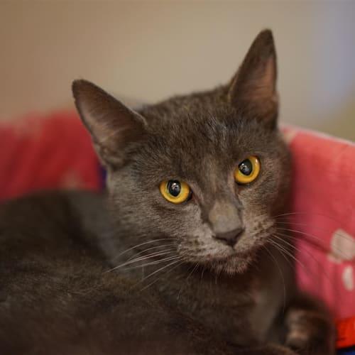 Cinnamon - Domestic Short Hair Cat